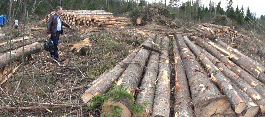 Жулики вырубают лес в Подмосковье: Алабушево, Ивантеевка и т.д.